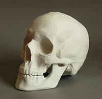 Гипсовая модель Череп анатомический для рисунка в классе ИЗО, 20х17х15 см