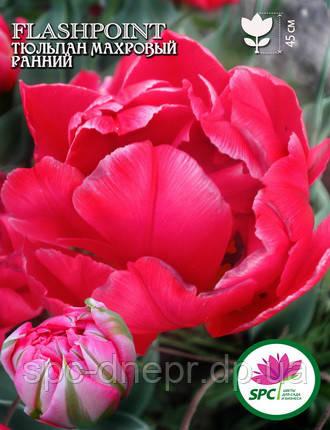 Тюльпан махровый ранний Flashpoint, фото 2