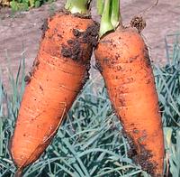 Шантане 0,5 кг. морковь Clause