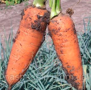 Семена моркови Шантане 500 гр. Clause