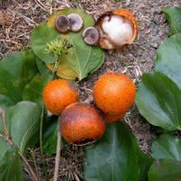 Чилибуха - рвотный орех