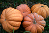 Семена тыквы Мускат де Прованс 100 гр. Clause