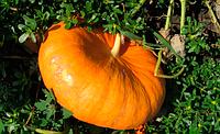 Семена тыквы Руж Виф Де Тамп 500 гр. Clause