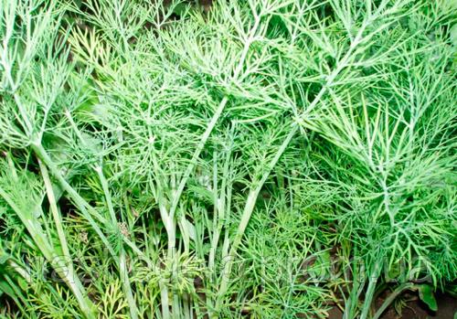 Семена укропа Дилл 500 гр. Clause