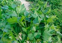 Семена петрушки Новас 250 гр. Clause