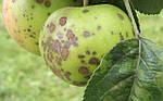Основные заболевания плодовых деревьев