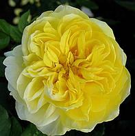 Саджанці троянд St Alban