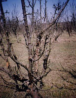Симптомы бактериального некроза коры яблони и груши Pseudomonas syringae pv.