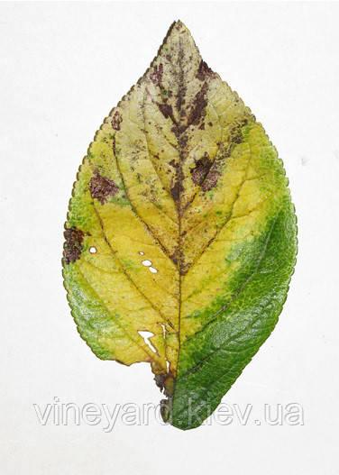 Симптомы бактериального некроза коры косточковых плодовых деревьев
