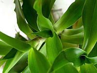 Золотой ус (каллизия душистая) - Callisia fragrans с.с черенок