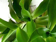 Золотой ус (каллизия душистая) - Callisia fragrans деленка в горшке.