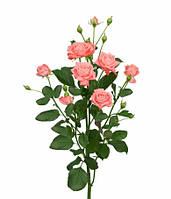 Роза кустовая спрей сорт Барбадос Barbados Аскания-Флора, Залесье