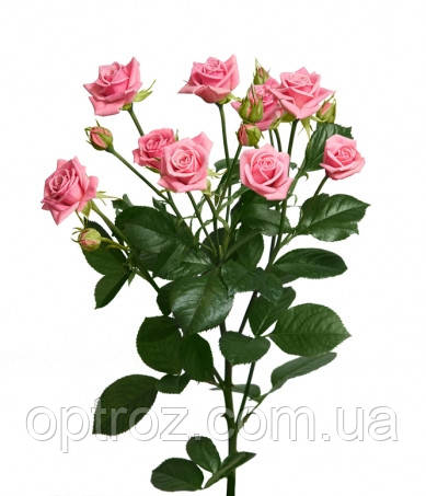 кустовая роза одилия фото
