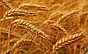 Озимая пшеница Милтон Seed Grain (1 репрод.)