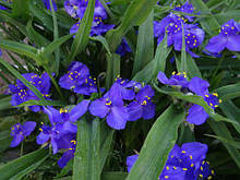 Традесканция садовая синяя(деленка).