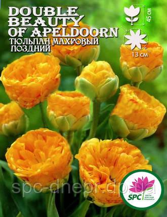 Тюльпан махровый поздний Double Beauty of Apeldoorn, фото 2
