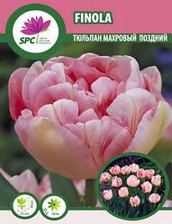 Тюльпан махровый поздний Finola
