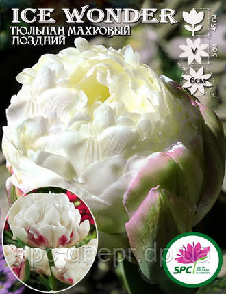 Тюльпан махровый поздний Ice Wonder, фото 2