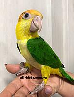 Папуга Каик рудоголовий білочеревого - выкормыш