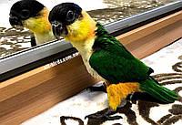 Папуга Каик чорноголовий - пташеня выкормыш