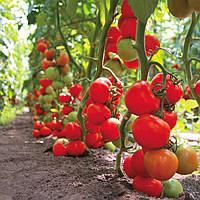 ТАЙЛЕР F1 / TAJLER F1 — томат индетерминантный, KitanoSeeds 500 семян