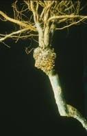 Корневой рак яблони и груши. Симптомы заболевания, методы устранения бактериоза