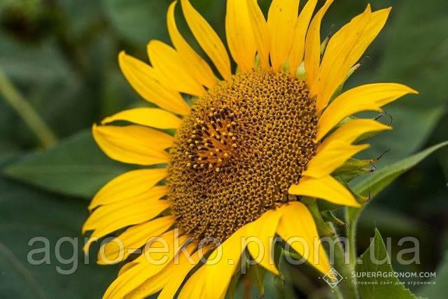 Обід для сонячної квітки: елементи живлення, що потрібні для росту і розвитку соняшника