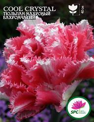 Тюльпан махровый бахромчатый Cool Crystal