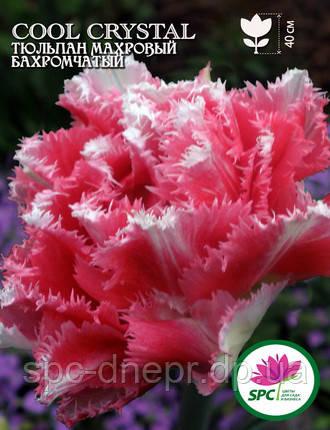 Тюльпан махровый бахромчатый Cool Crystal, фото 2