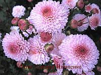 Хризантема корейская Зефир