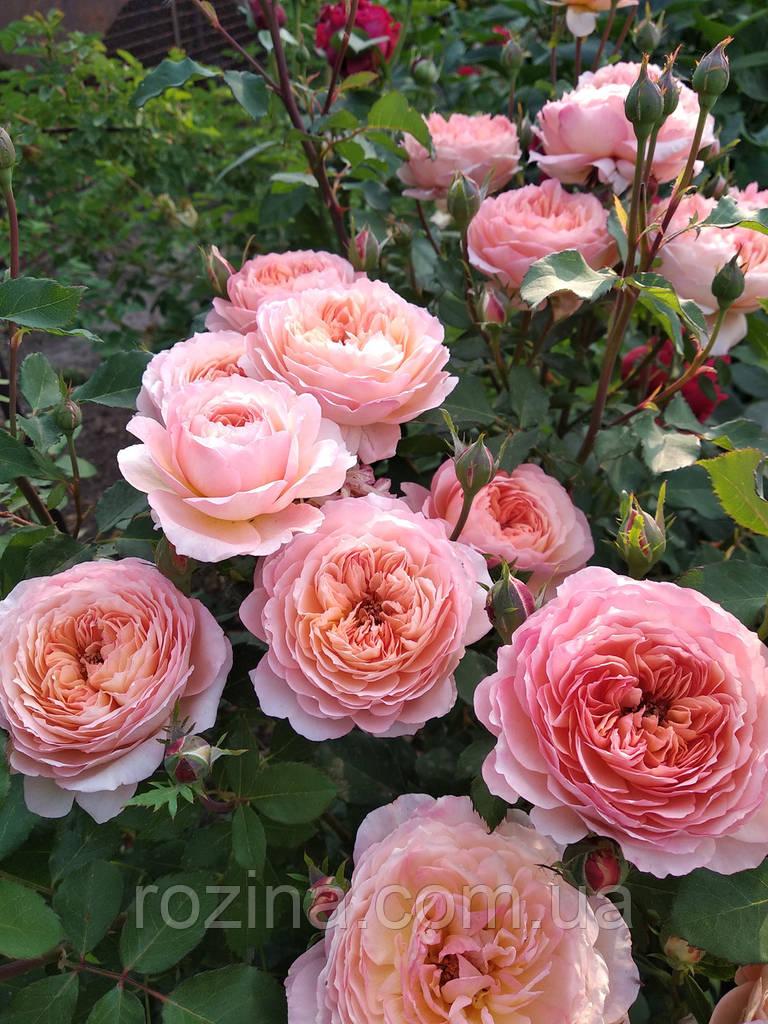 Цветы хосты купить в запорожье, доставка цветов челябинская обл