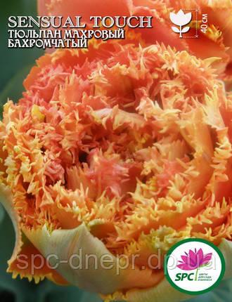 Тюльпан махровый бахромчатый Sensual Touch, фото 2