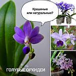 Голубые орхидеи: крашенные и натуральные