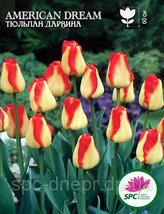 Тюльпан American Dream, фото 2