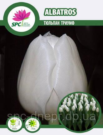 Тюльпан триумф Albatros, фото 2