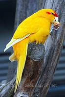 Новозеландський стрибає папуга Какарик - лютино.