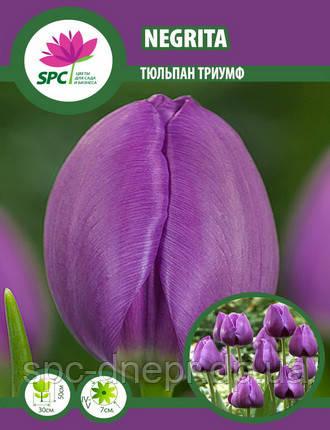 Тюльпан триумф Negrita, фото 2