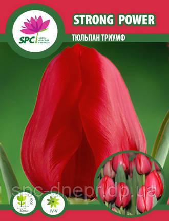 Тюльпан триумф Strong Power