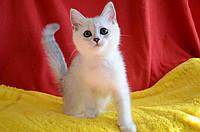 Британские котята мальчик Серебристая шиншилла