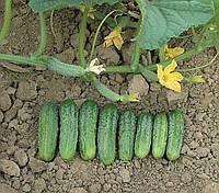 НАДЯ F1 / NADYA F1 — огурец партенокарпический, MAY SEEDS 1000 семян