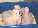 Молуккский какаду ручные выкормыши, фото 3
