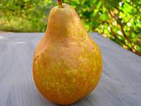 Саджанці груші Вижниця (Выжница, Vyzhnitsa)