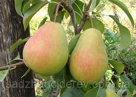 Саджанці груші Велика літня (Большая летняя)