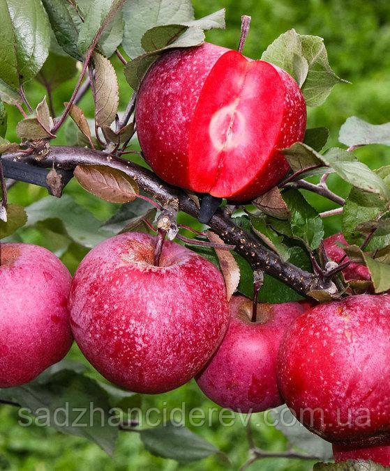 Саджанці яблунь Байя Маріса (Байя Мариса, Baya Marisa) (червона м'якоть, красная мякоть)