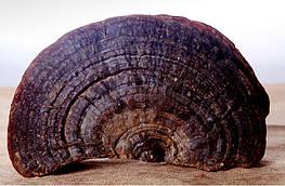 Гриб лінчжі (рейші) або ганодерма лакована дика 250 г