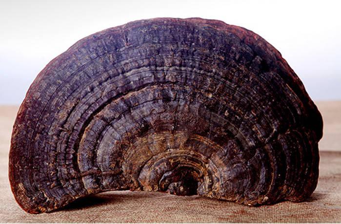 Гриб линчжи (рейши) или ганодерма лакированная дикая 250 г