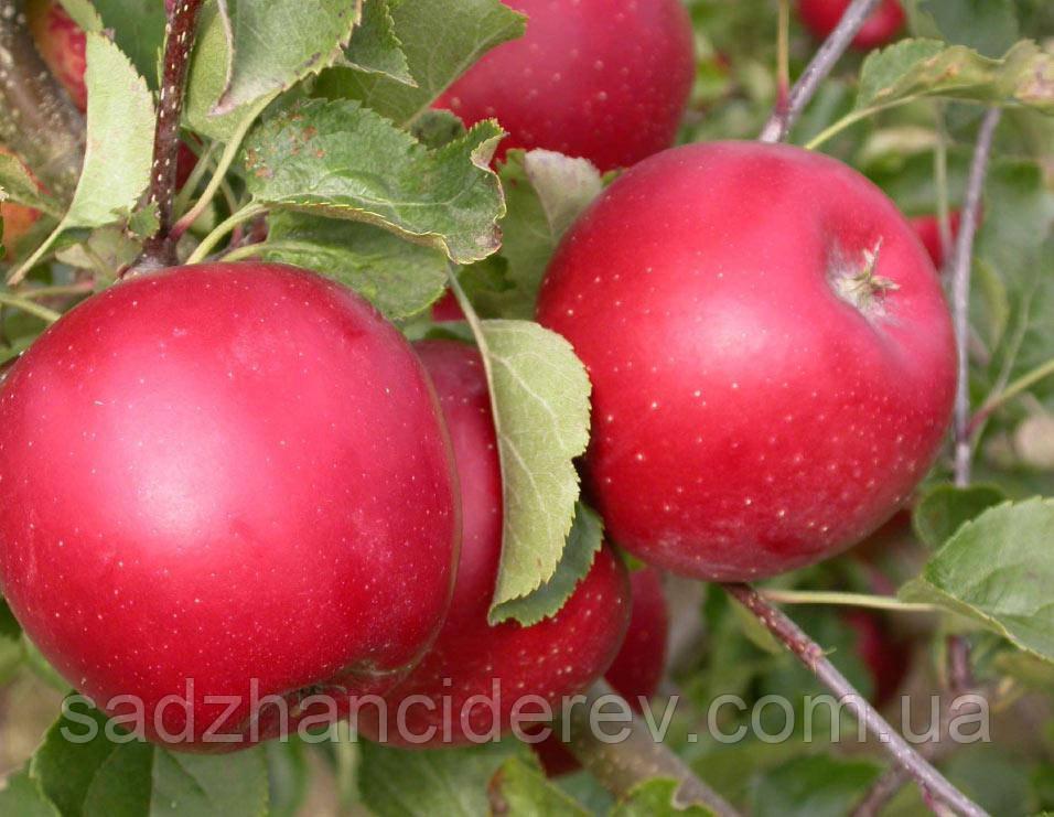 Саджанці яблунь Топаз (Topaz)