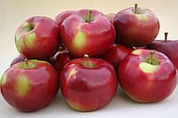 Саджанці яблунь Ентерпрайз (Enterprise, Энтерпрайз), фото 1