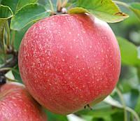 Саджанці яблунь Евеліна (Evelina, Эвелина)