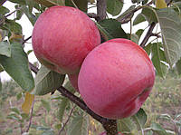 Саджанці яблунь Джулія  (Julia, Джулия)